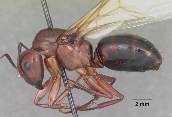 Reddish carpenter ant | Camponotus castaneus photo