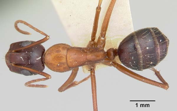 Reddish carpenter ant | Camponotus castaneus photo