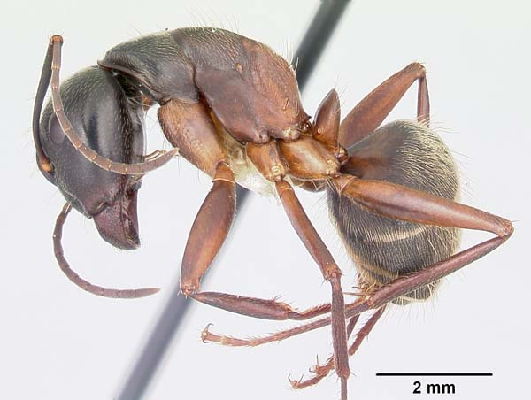 Red carpenter ant | Camponotus chromaiodes photo