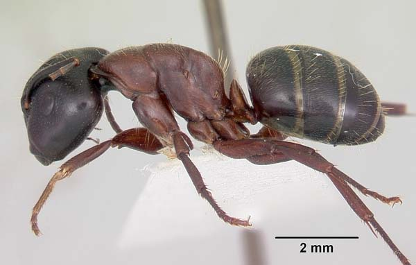 Carpenter ant | Camponotus noveboracensis photo