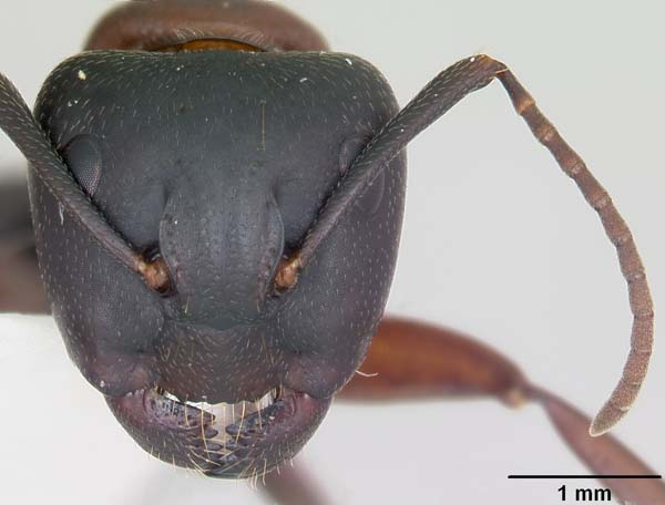Red carpenter ant | Camponotus noveboracensis photo