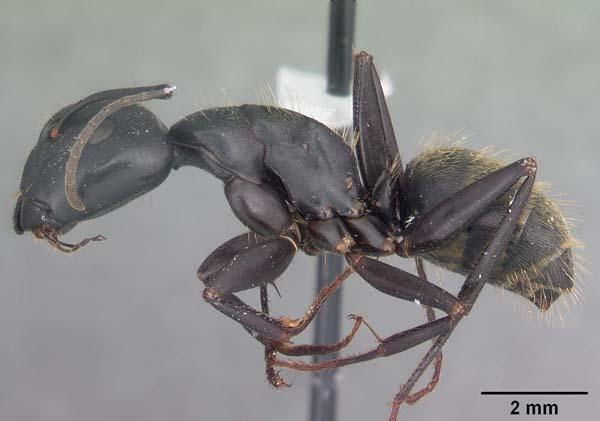 Black carpenter ant | Camponotus pennsylvanicus photo