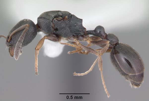 Tramp ant | Cardiocondyla venustula photo