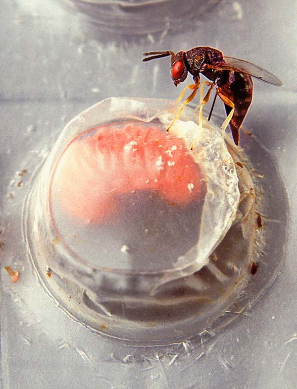 Pteromalid wasp   Catolaccus grandis photo