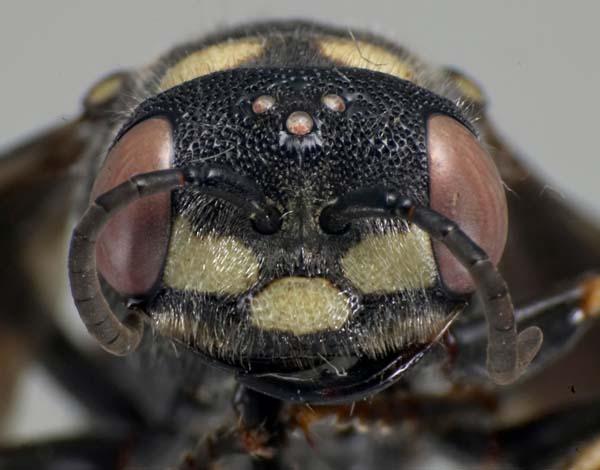 Sphecid wasp   Cerceris fumipennis photo