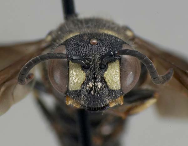 Sphecid wasp | Cerceris fumipennis photo