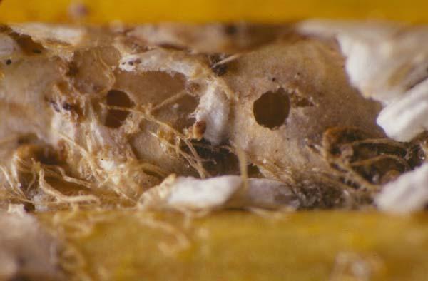 Scale parasitoid | Coccobius fulvus photo