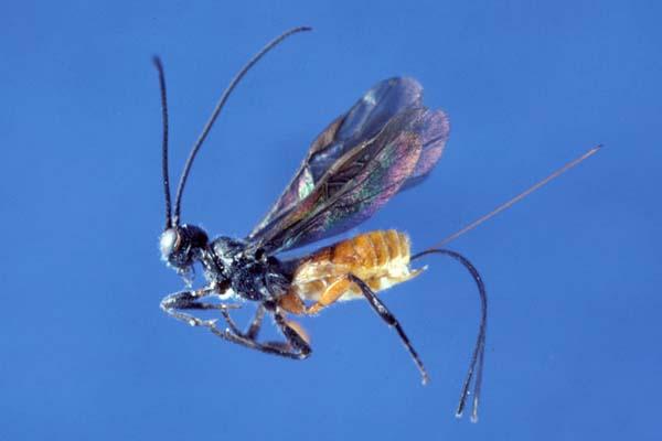 Braconid wasp   Coeloides pissodis photo