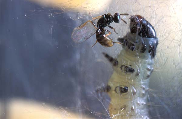 Eulophid wasp | Colpoclypeus florus photo