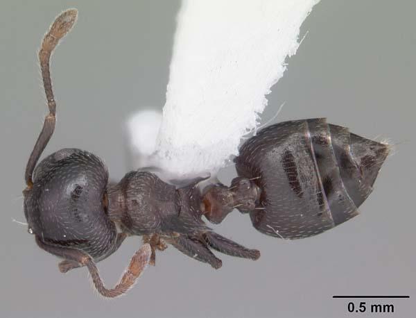 Arboreal ant | Crematogaster ashmeadi photo
