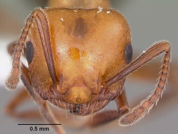 Valentine ant | Crematogaster laeviuscula photo