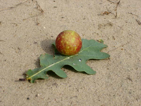 Cynipid gall wasp | Cynips quercusfolii photo