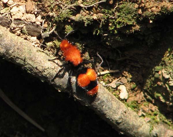Velvet ant | Dasymutilla occidentalis photo
