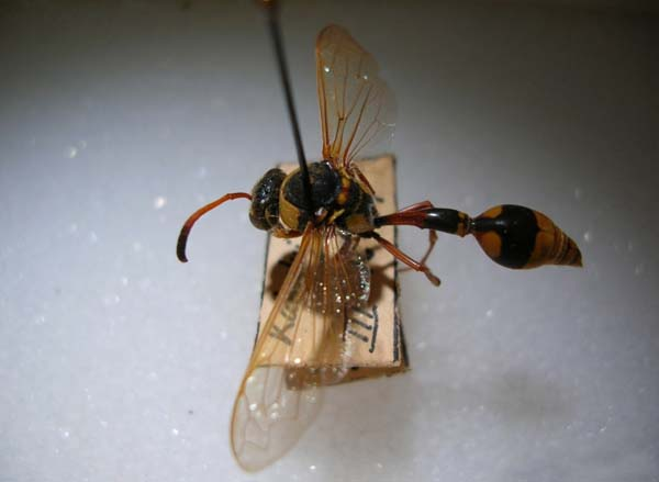 Yellow and black potter wasp | Delta campaniforme campaniforme photo