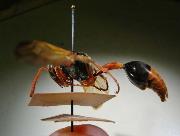Orangetailed potter wasp | Delta latreillei petiolare photo