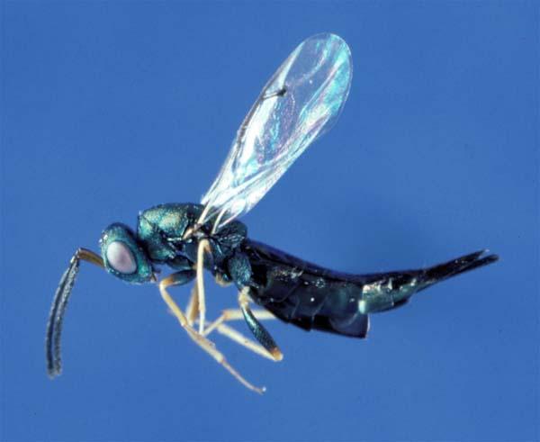 Pteromalid wasp | Dinotiscus dendroctoni photo