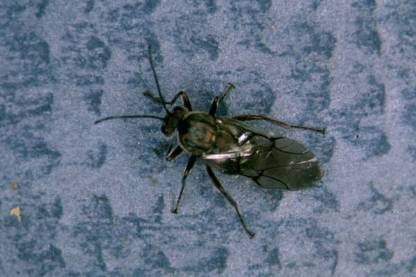 Oak rough bulletgall wasp | Disholcaspis quercusmamma photo