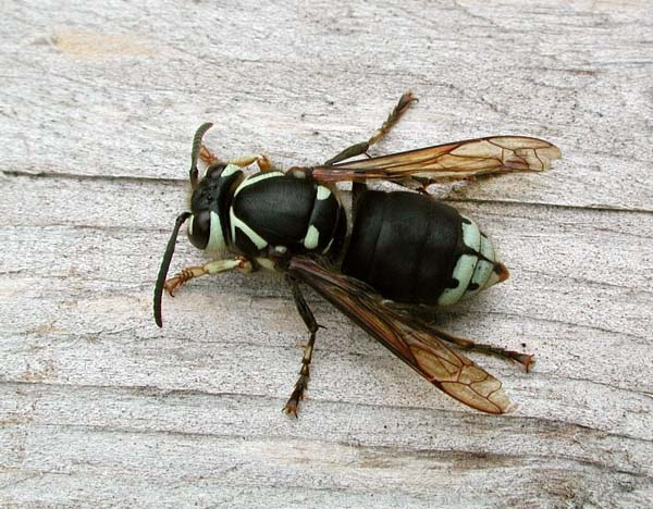 Baldfaced hornet | Dolichovespula maculata photo