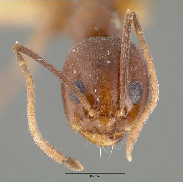 Pyramid ant | Dorymyrmex flavus photo