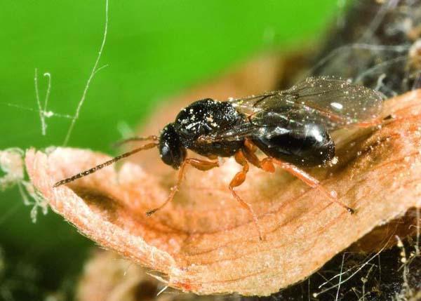 Oriental chestnut gall wasp | Dryocosmus kuriphilus photo