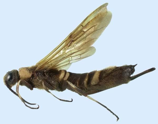 Siricid woodwasp   Eriotremex formosanus photo