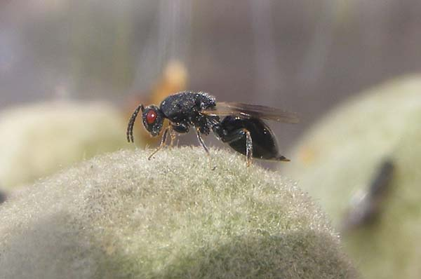 Almond stone wasp | Eurytoma amygdali photo