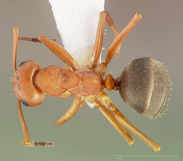 Ant | Formica densiventris photo