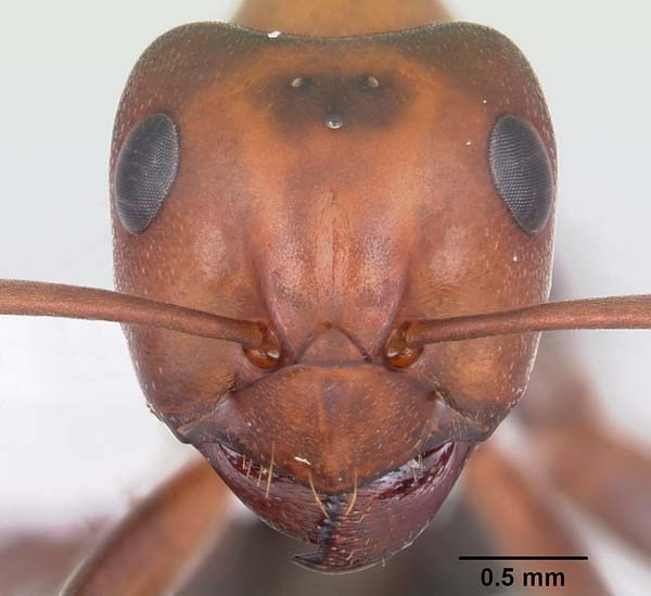 Allegheny mound ant   Formica exsectoides photo