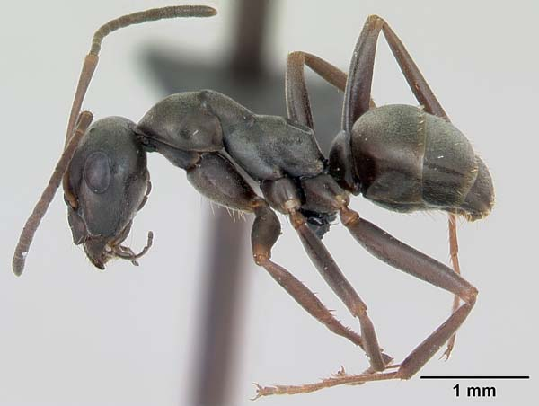 Silky ant | Formica fusca photo