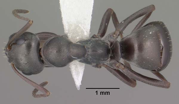 Silky ant   Formica fusca photo