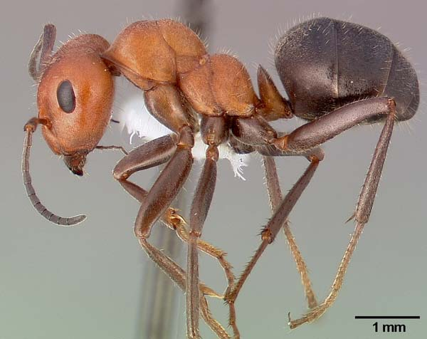 Western thatching ant | Formica obscuripes photo