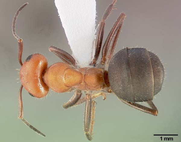 Western thatching ant   Formica obscuripes photo