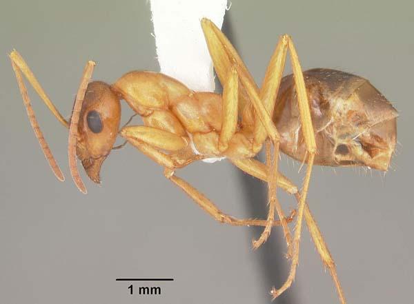 Red ant   Formica pallidefulva photo