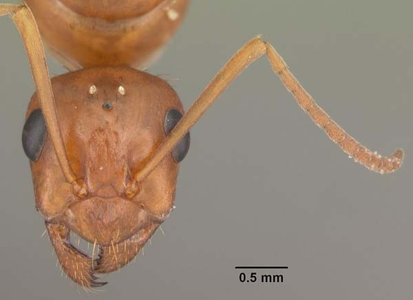 Red ant | Formica pallidefulva photo