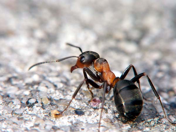 Red wood ant | Formica rufa photo