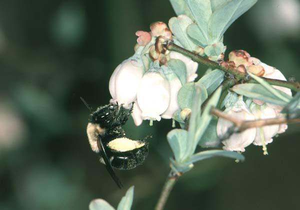 Southeastern blueberry bee | Habropoda laboriosa photo