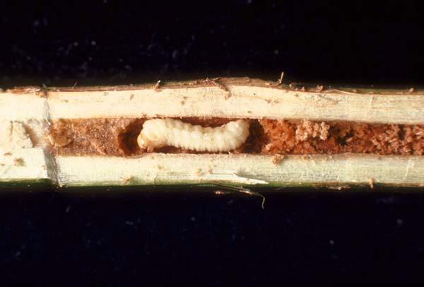 Willow shoot sawfly | Janus abbreviatus photo