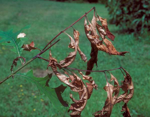 Oak shoot sawfly | Janus quercusae photo