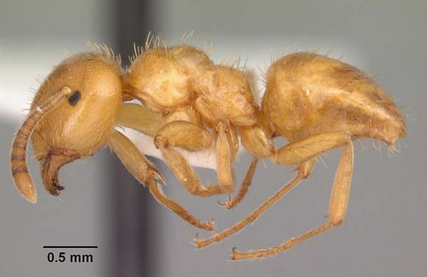 Smaller yellow ant | Lasius claviger photo