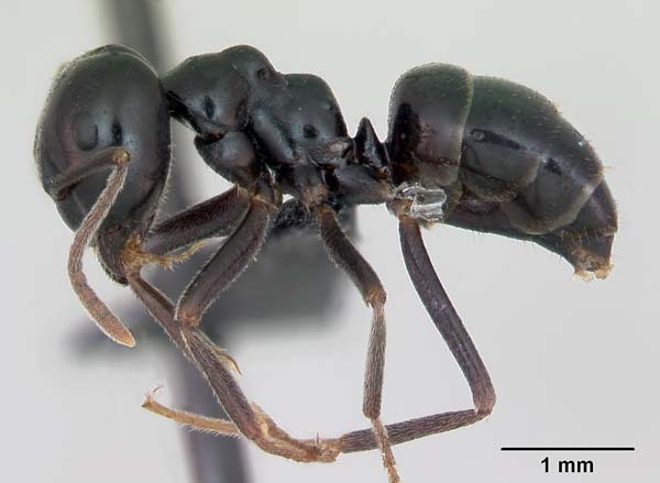 Ant | Lasius fuliginosus photo