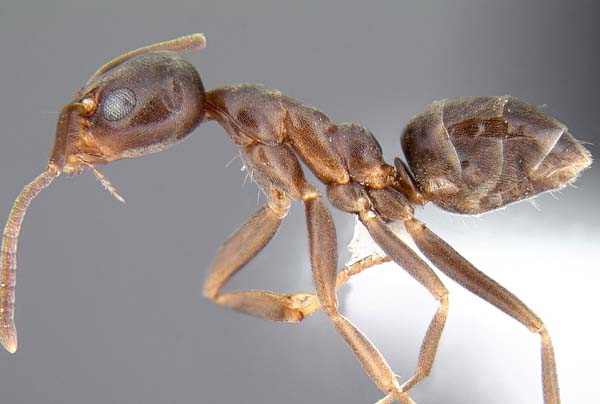 Argentine ant | Linepithema humile photo