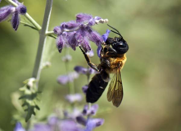 Giant resin bee   Megachile sculpturalis photo