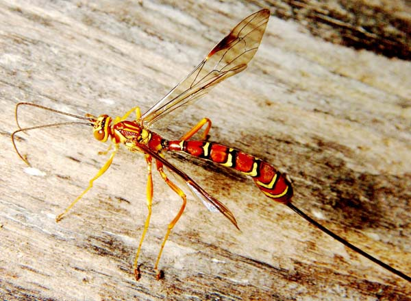 Ichneumonid wasp | Megarhyssa macrurus photo