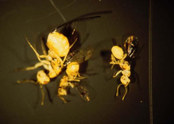 Multiflora rose seed chalcid | Megastigmus aculeatus nigroflavus photo
