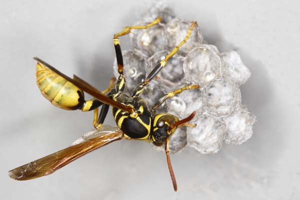 Western paper wasp | Mischocyttarus flavitarsis photo
