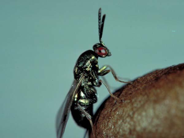 Sawfly parasitic wasp | Monodontomerus dentipes photo