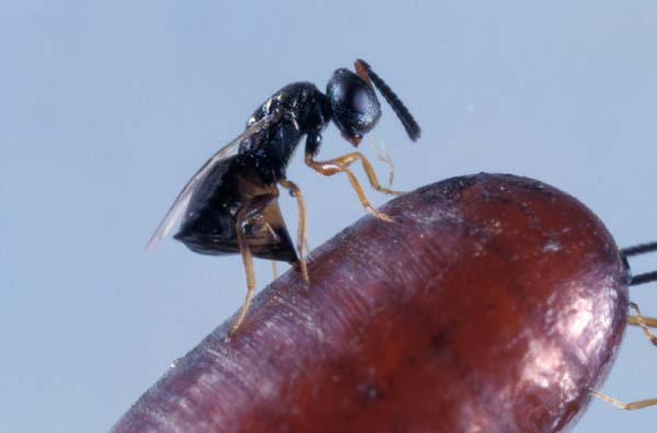 Pteromalid wasp | Muscidifurax raptor photo