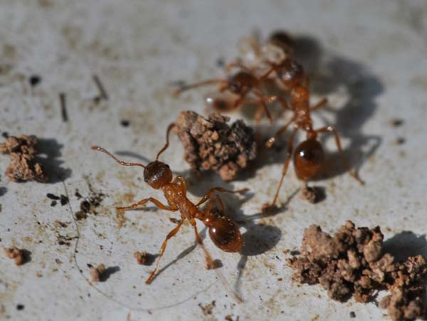 European imported fire ant | Myrmica rubra photo