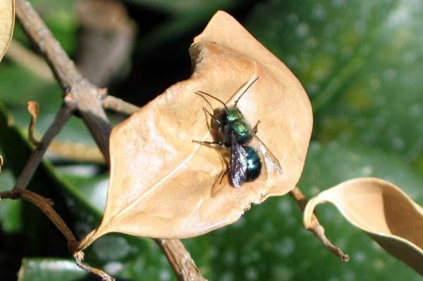 Blue orchard bee | Osmia lignaria photo