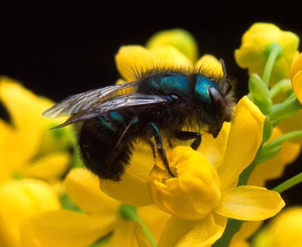Leafcutting bee | Osmia ribifloris photo